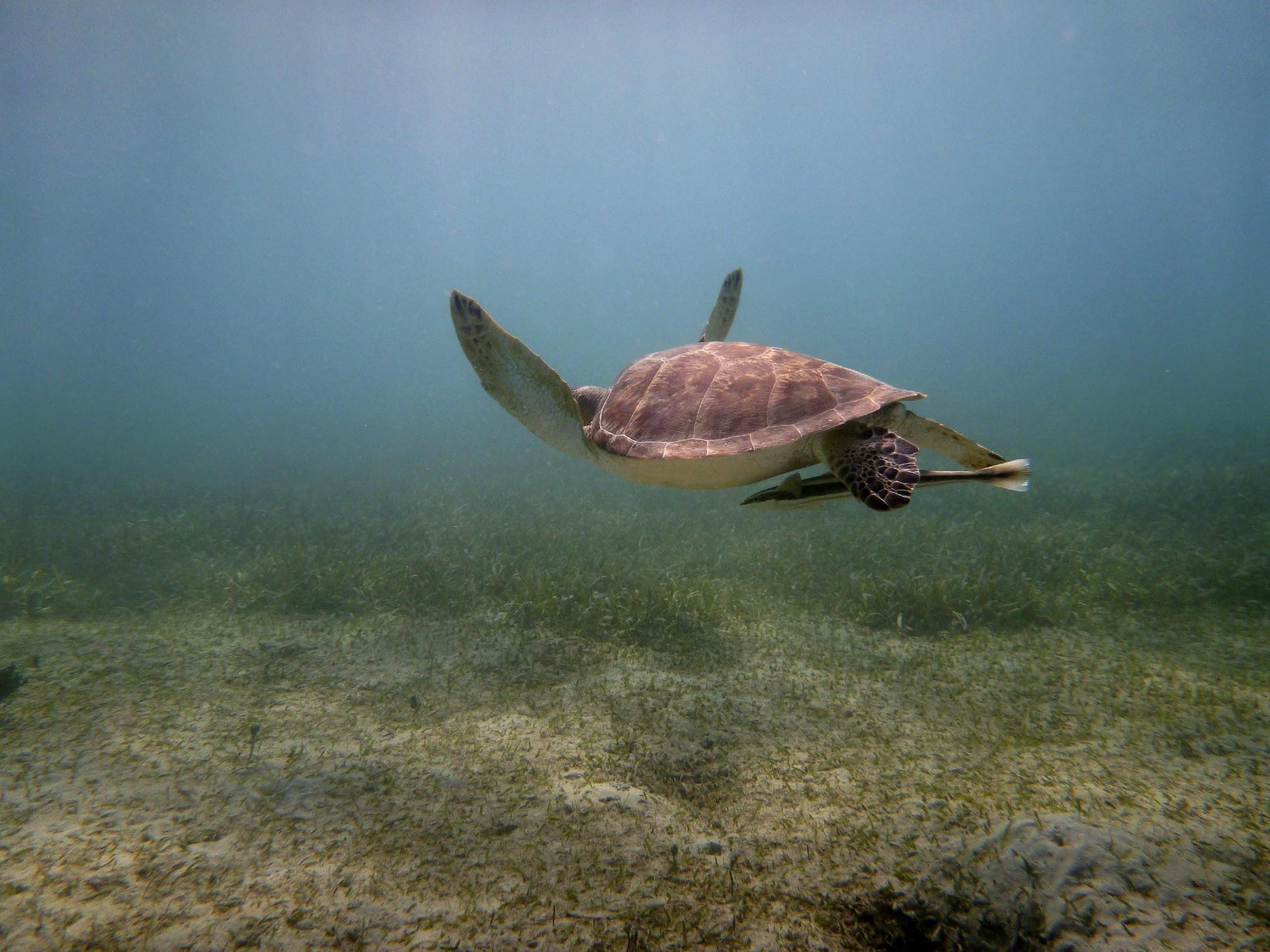 sea turtle essay Essay on sea turtle  the biology of the sea turtle and facors affecting its population upon first sight of the great sea turtle it might just think that it is like any other turtle  the truth is that marine turtles are beautiful creatures spending a majority of their lives wandering endlessly through our massive ocean.